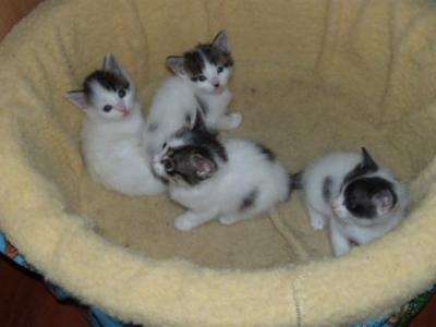 Se regalan gatitos centro veterinario puente alto - Gatitos de un mes ...